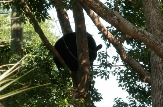 Bear at the Landings